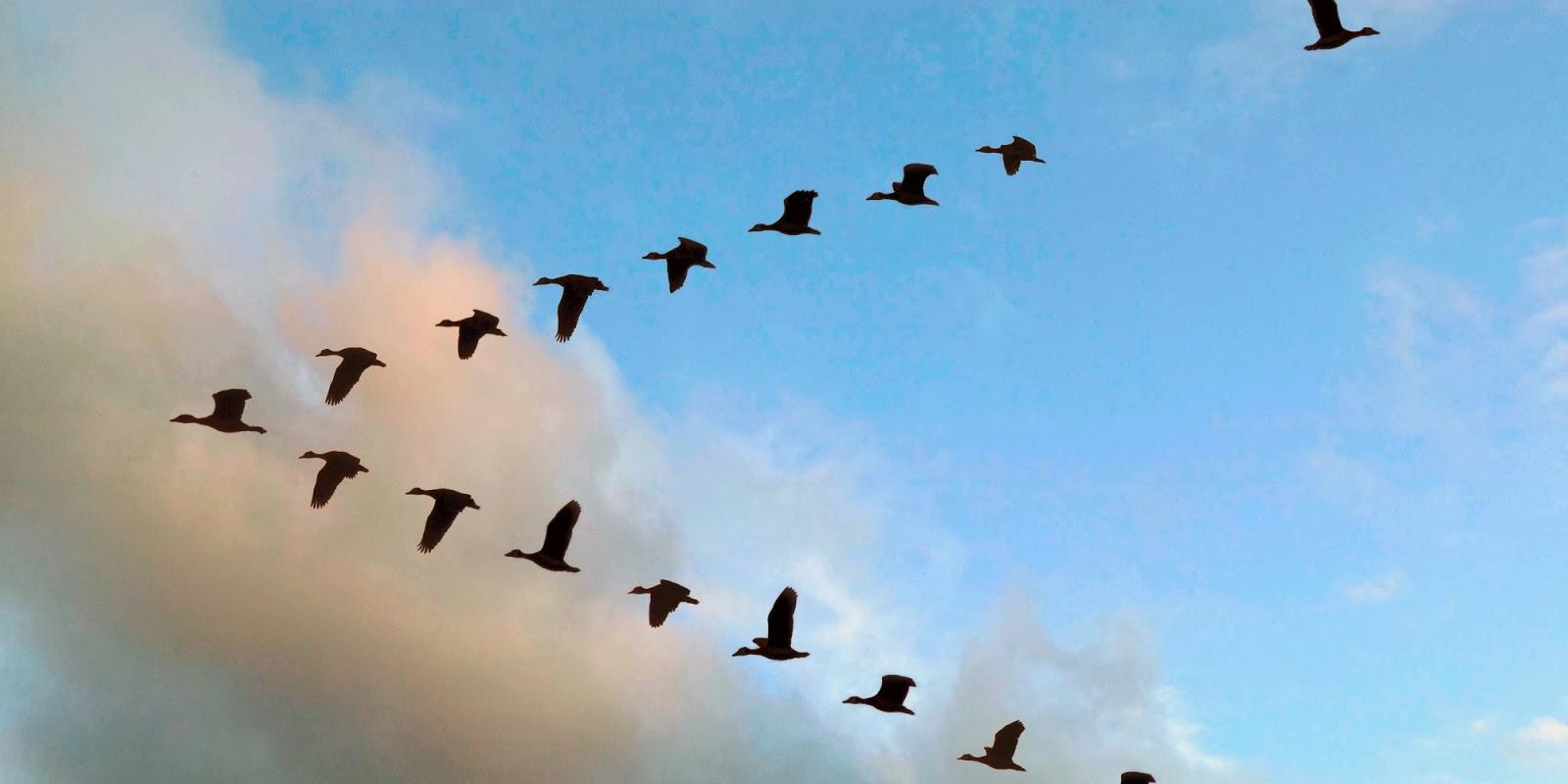aves-vuelan-formación-V