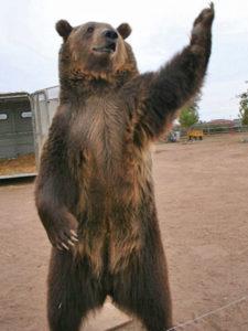 oso-cantando-copla